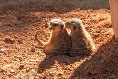 Meerkats, der morgens ein Sonnenbad nimmt stockfotos