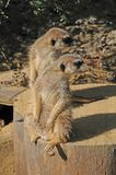 Meerkats die gelijktijdig achteruit eruit zien royalty-vrije stock fotografie