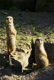 Meerkats die uit voor gevaar kijken royalty-vrije stock afbeelding