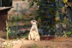 Meerkats in dierentuin in Nuremberg in Duitsland royalty-vrije stock foto's