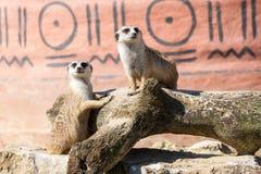 Meerkats duett Arkivbilder
