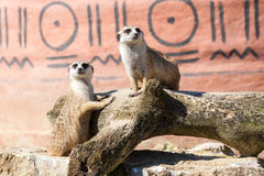 Meerkats duo Stock Images