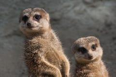 meerkats dwa Fotografia Royalty Free