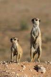meerkats dwa Fotografia Stock