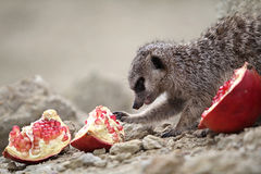Meerkats eat Royalty Free Stock Image