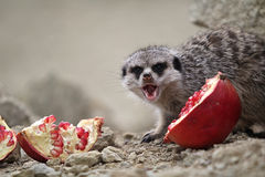 Meerkats eat. A red pomegranate sitting on a rock in the desert Royalty Free Stock Image