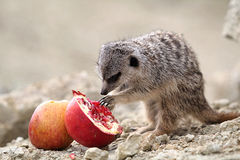 Meerkats eat. A red pomegranate sitting on a rock in the desert Royalty Free Stock Photo