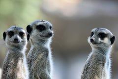 Meerkats eller suricates observera omge royaltyfria bilder