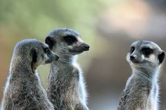 Meerkats eller suricates observera omge fotografering för bildbyråer
