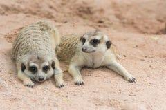 Meerkats eller Suricates (Suricatasuricattaen) Arkivfoton