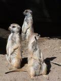 Meerkats en alarma Imagenes de archivo