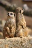 Meerkats en el puesto de observación Fotos de archivo