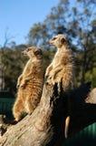 Meerkats en el puesto de observación imagenes de archivo