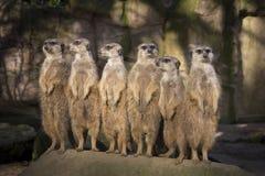 Meerkats en guardia Imágenes de archivo libres de regalías
