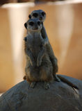 Meerkats en la roca Imagenes de archivo