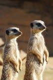 Meerkats en service Images stock