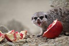 Meerkats essen Lizenzfreies Stockbild