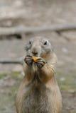 Meerkats está comiendo un poco de fruta imagen de archivo
