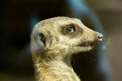 Meerkats face looking at something Stock Photo