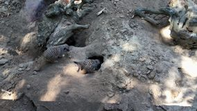 Meerkats family digs a hole in the ground, view from above stock video