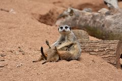 Meerkats Family, Mother Meerkat is feeding her Baby Meerkats stock photos