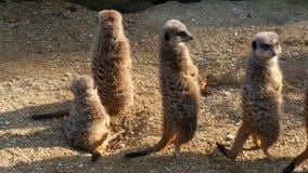 Meerkats stock video
