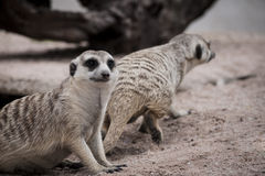 Meerkats. Family of Meerkats in zoo thailand Stock Photos