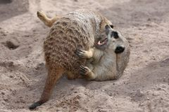 Meerkats Fighting Royalty Free Stock Photography