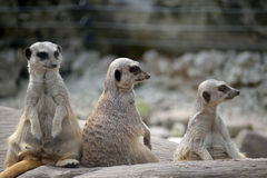 Meerkats in fota wildlife park Royalty Free Stock Photos