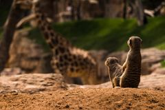 Meerkats in a funny pose with a giraffe in the background. Two meerkats sitting in a funny pose with a giraffe in the background blurred out. Warm sunlight on Stock Images