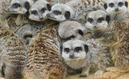 Meerkats gathering for warmth royalty free stock images