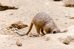 Meerkats-Grabungen stockfotografie