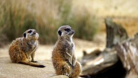 Meerkats in grasses Stock Photo