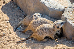 Meerkats group Royalty Free Stock Images