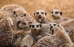Meerkats Stock Photography