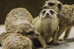 Meerkats Royalty Free Stock Images