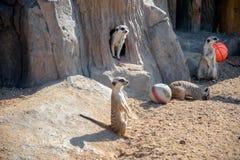 Meerkats group Stock Photo