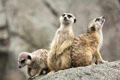 Meerkats Royalty Free Stock Photo