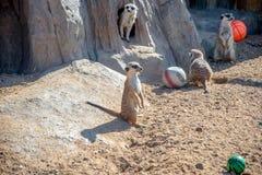 Meerkats-Gruppenspiele mit einem Ball Lizenzfreie Stockfotos