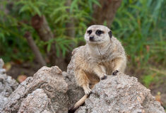 Meerkats On Guard Stock Images