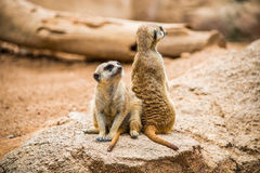Meerkats guard. Royalty Free Stock Photo