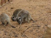 Meerkats hambriento imagenes de archivo