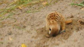 Meerkats het graven in het zand stock videobeelden