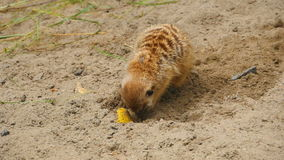 Meerkats het graven in het zand stock video