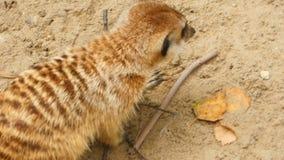 Meerkats het graven in het zand stock footage