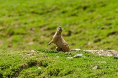 Meerkats on a hill Stock Images