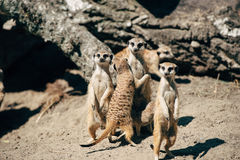 Meerkats hugging on sand Royalty Free Stock Photo