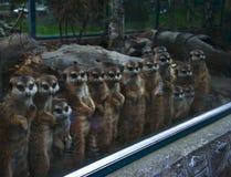 Meerkats i rad Royaltyfria Bilder