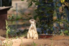 Meerkats i zoo i nuremberg i Tyskland royaltyfria foton