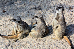 Meerkats im Sand Stockfoto